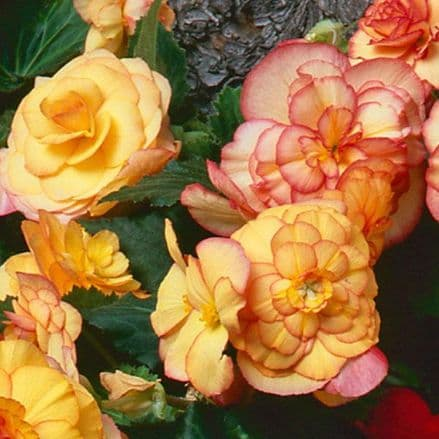 On Top® Sunset Shade Begonia PRE ORDER