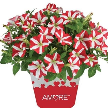 Petunia Amore King of Hearts PRE ORDER